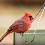 Songbird-Selections-Cardinal-Blend-Wild-Bird-Food-Bag-0-2