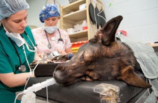 Dog Bladder Stone Surgery Recovery