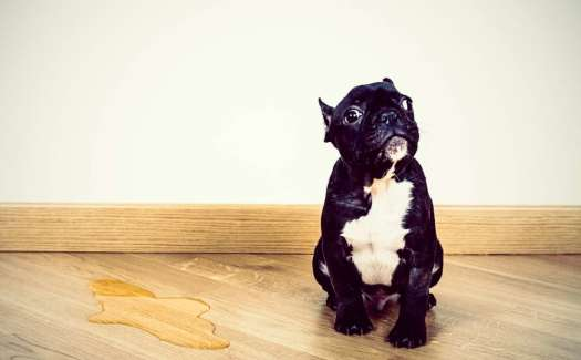 How To Clean Dog Urine From Hardwood Floors