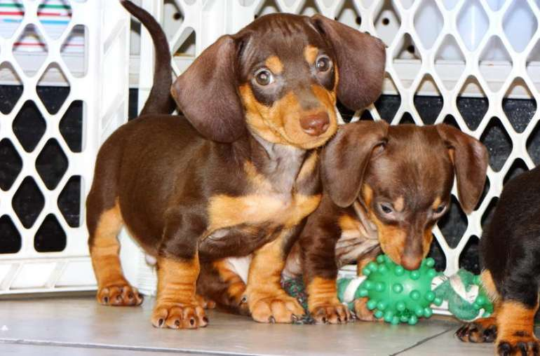 Weiner Dogs For Sale