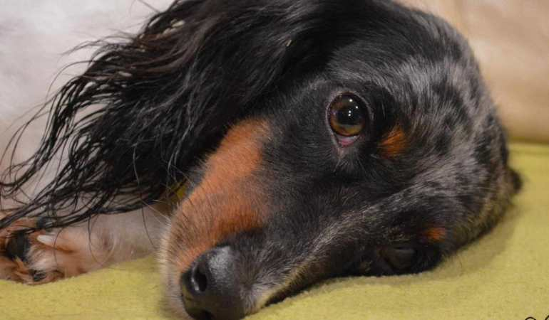Rescue Long Haired Dachshund