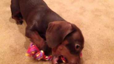 Toys For Dachshunds