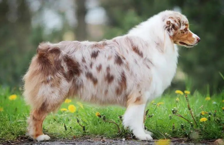 Australian Shepherd Dogs For Sale Near Me