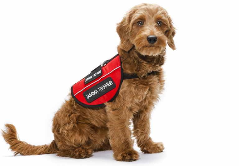 Emotional Support Dog Vs Service Dog