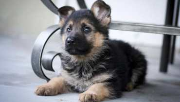 free german shepherd puppies illinois