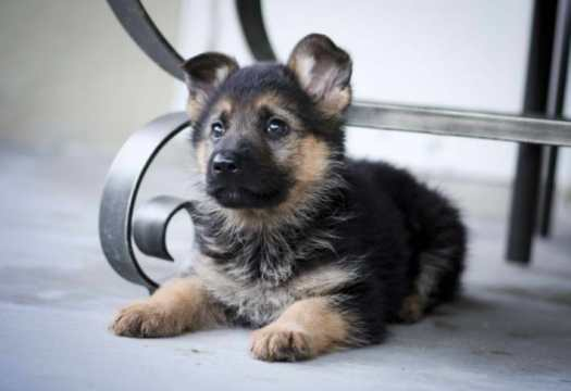 free german shepherd puppies illinois