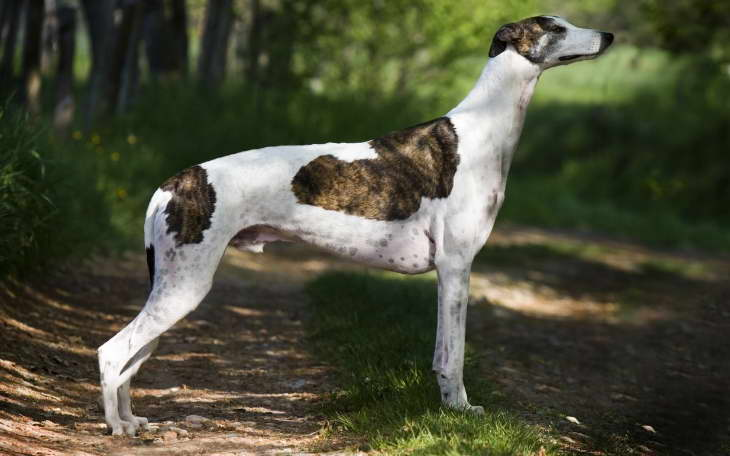 Greyhound Dog Info