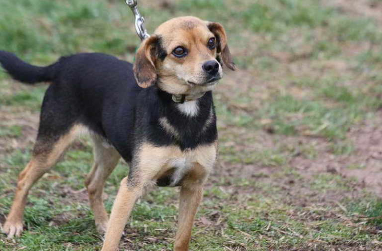 beagle chihuahua mix for adoption