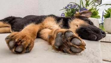 german shepherd vomiting