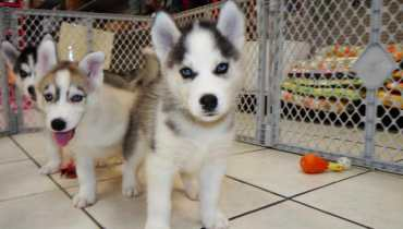 husky puppies for sale st louis