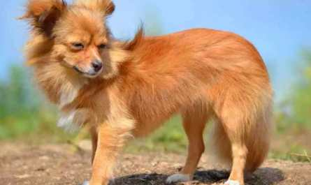 long hair chihuahua puppy