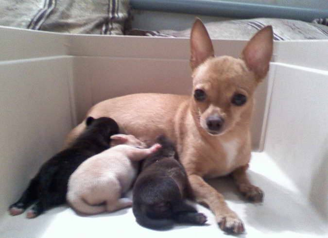 How To Neutering Chihuahua