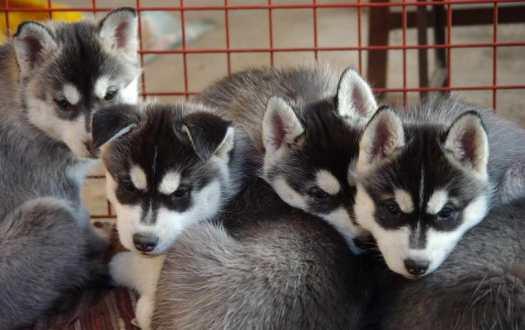 pom husky breeders