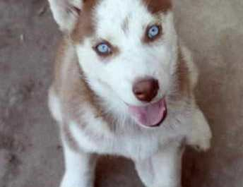 Red Husky Puppies For Sale