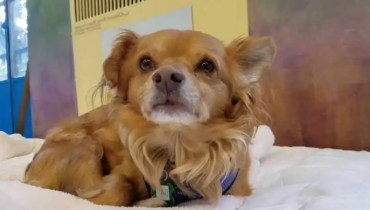 adopt long hair chihuahua