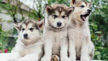 alaskan malamute husky puppies