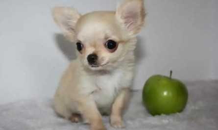 apple head chihuahua for sale