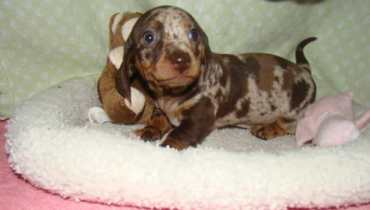 baby dachshund puppies for sale