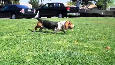 basset hound rescue socal