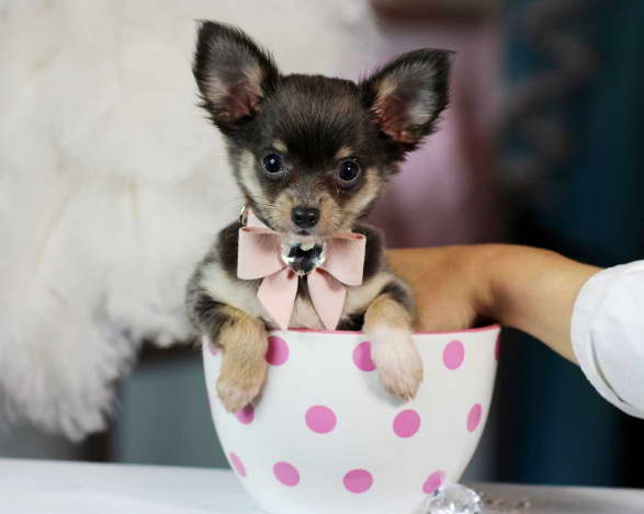 Chihuahua Puppies for Sale in Bay Area CA