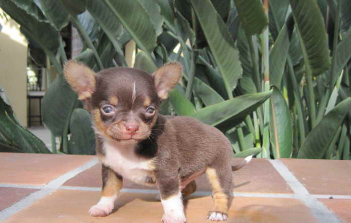 Chihuahua puppies for Sale in Georgia