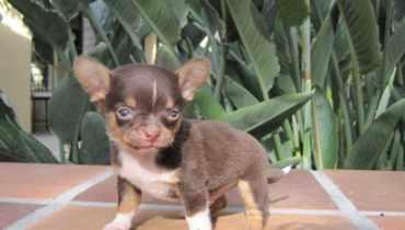 chihuahua puppies for sale georgia