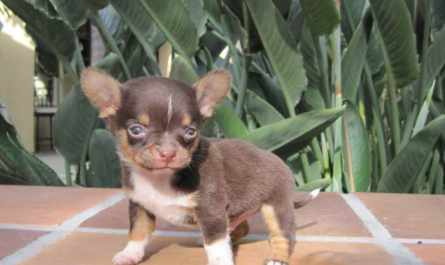 chihuahua puppies for sale georgia