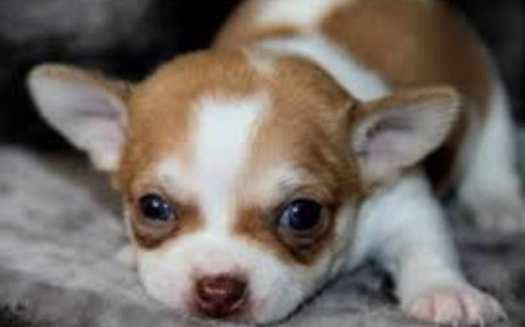 chihuahua puppies for sale houston tx