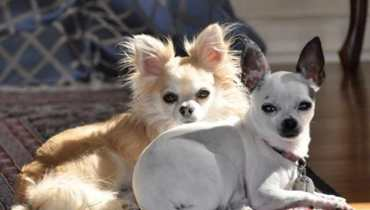 chihuahua puppies for sale in el paso tx