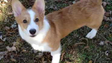 corgi rescue tennessee