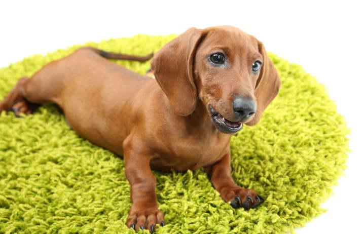 dachshund puppies nyc