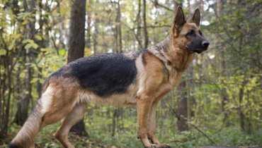 german shepherd breeders in ny
