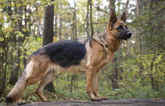 german shepherd breeders in ny