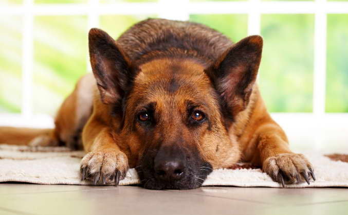 German Shepherd Illnesses Information