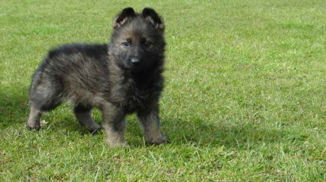 german shepherd puppies for sale in wyoming