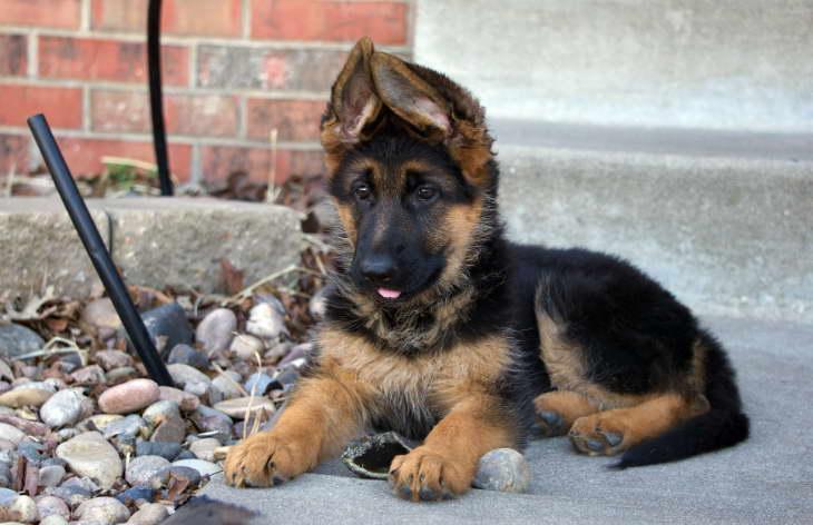 german shepherd puppies for sale near me