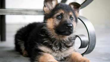 getting a german shepherd puppy