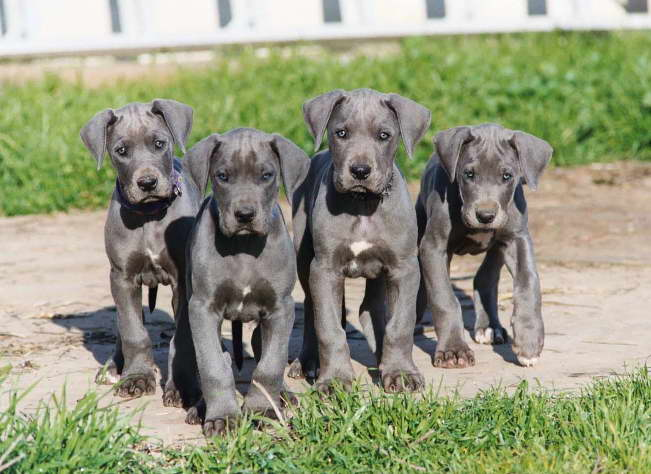 great dane for sale ohio