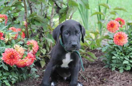 great dane wanted