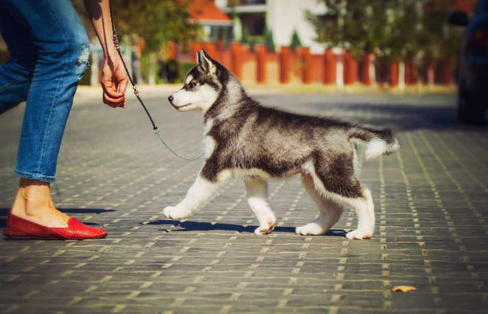 how much is a husky dog cost