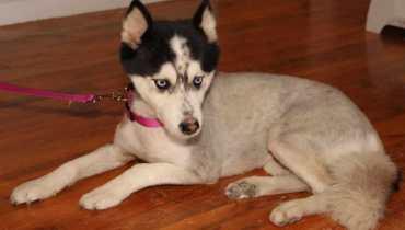 husky adoption california