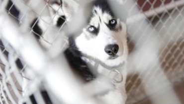 husky puppies for sale in jacksonville nc