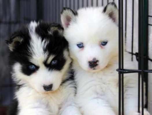 husky puppies oregon