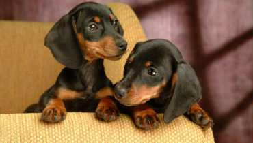 illinois dachshund breeders
