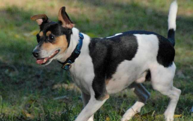 Jack Russell Rat Terriers Information