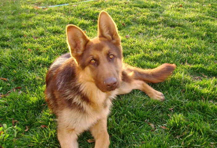 liver and tan german shepherd