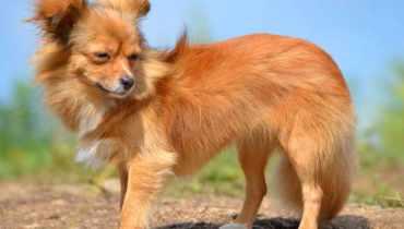 long hair chihuahua shedding