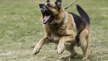 mean german shepherd