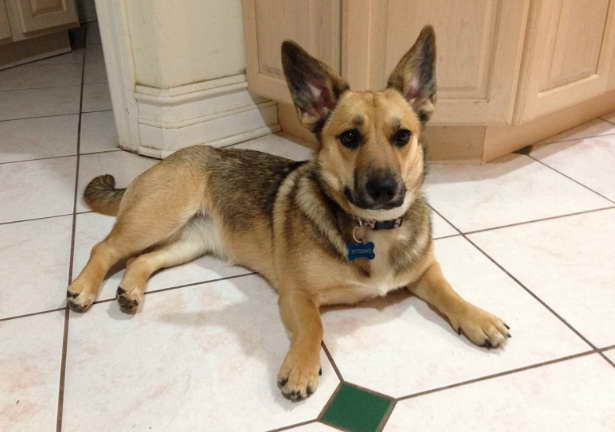 miniature german shepherd breed