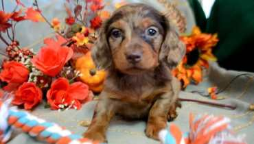 red dachshund for sale